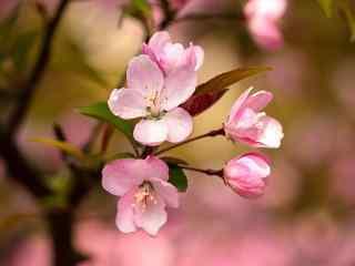 暖色调唯美的垂丝海棠花壁纸
