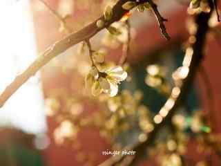 暖色调杏花风景桌面壁纸(4张)