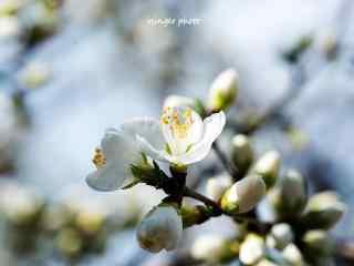 小清新唯美杏花风景壁纸