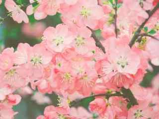 粉嫩欲滴的美丽海棠花植物壁纸