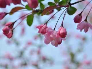 可爱的垂丝海棠花苞植物壁纸(5张)