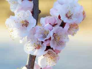 春日杏花满枝头美丽风景桌面壁纸(5张)