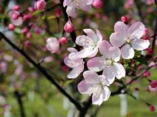 小清新春日海棠花桌面壁纸