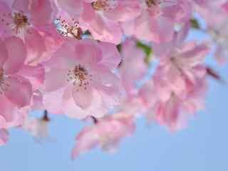 美丽盛开的垂丝海棠植物壁纸