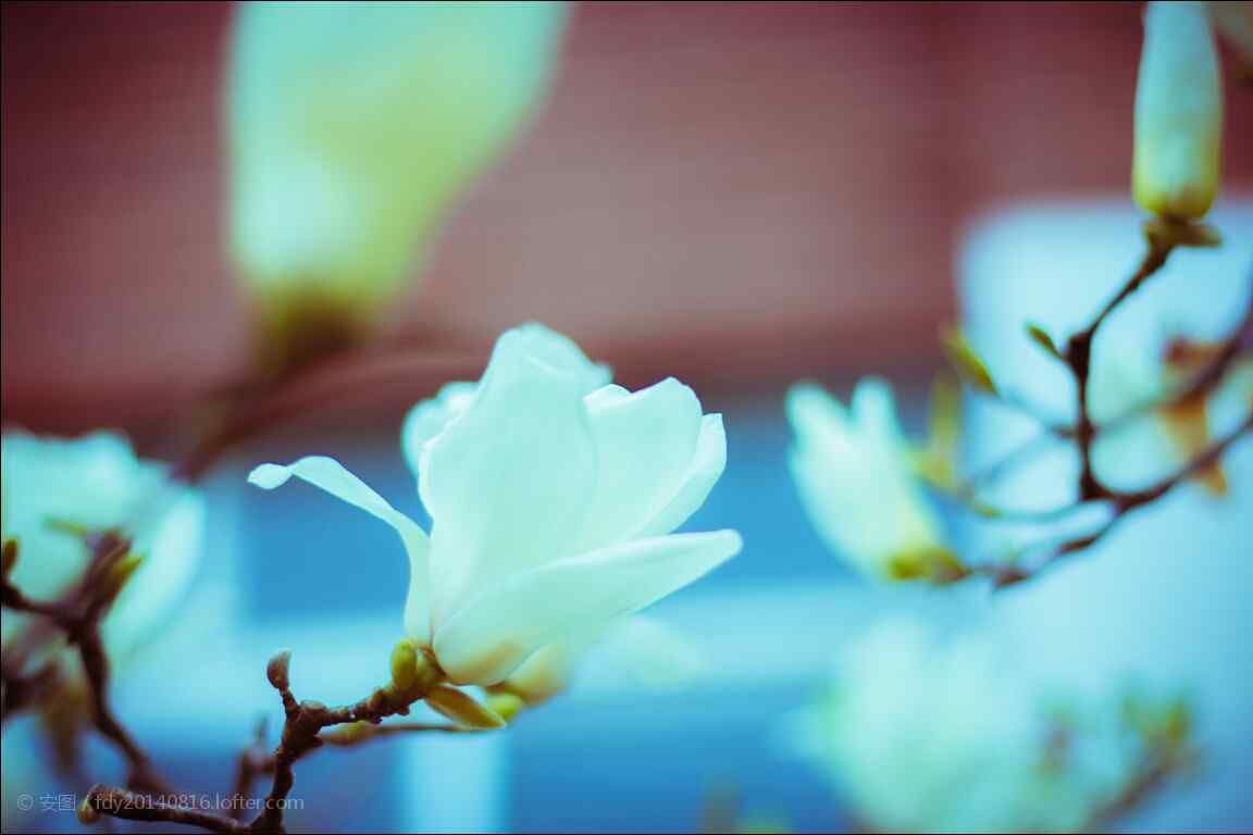 美丽玉兰花枝头桌面壁纸(7张)