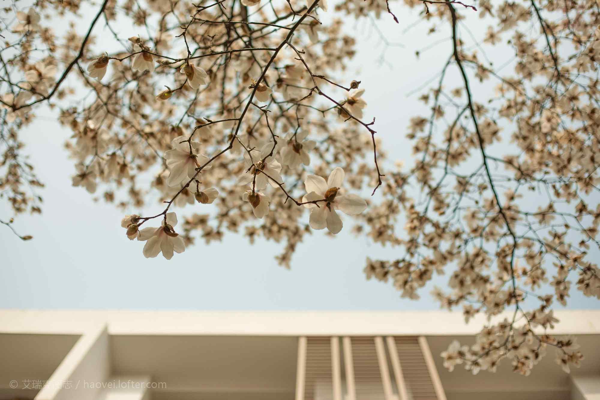繁盛的玉兰花树壁纸(4张)