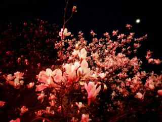 夜晚的玉兰花桌面壁纸