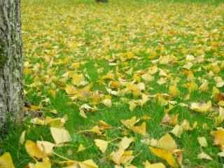 落在绿草地上的暖色银杏叶桌面壁纸