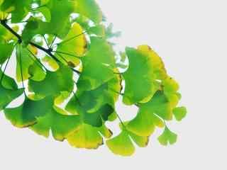 小清新绿色银杏叶桌面壁纸