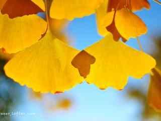 暖黄色的唯美银杏叶桌面壁纸