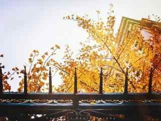 暖色调黄色银杏叶与天空桌面壁纸