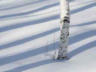 冬日雪景中的白桦林桌面壁纸