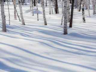 冬日的白桦林桌面壁纸