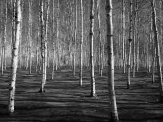 白桦林摄影黑白图片桌面壁纸
