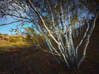 白桦树摄影图片桌面壁纸