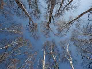 秋天的白桦林桌面壁纸
