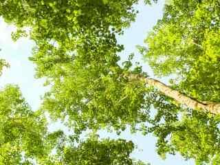翠绿的白桦林桌面壁纸
