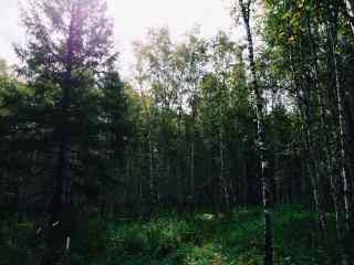 美丽的白桦林桌面壁纸
