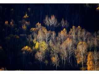 文艺唯美的白桦林桌面壁纸