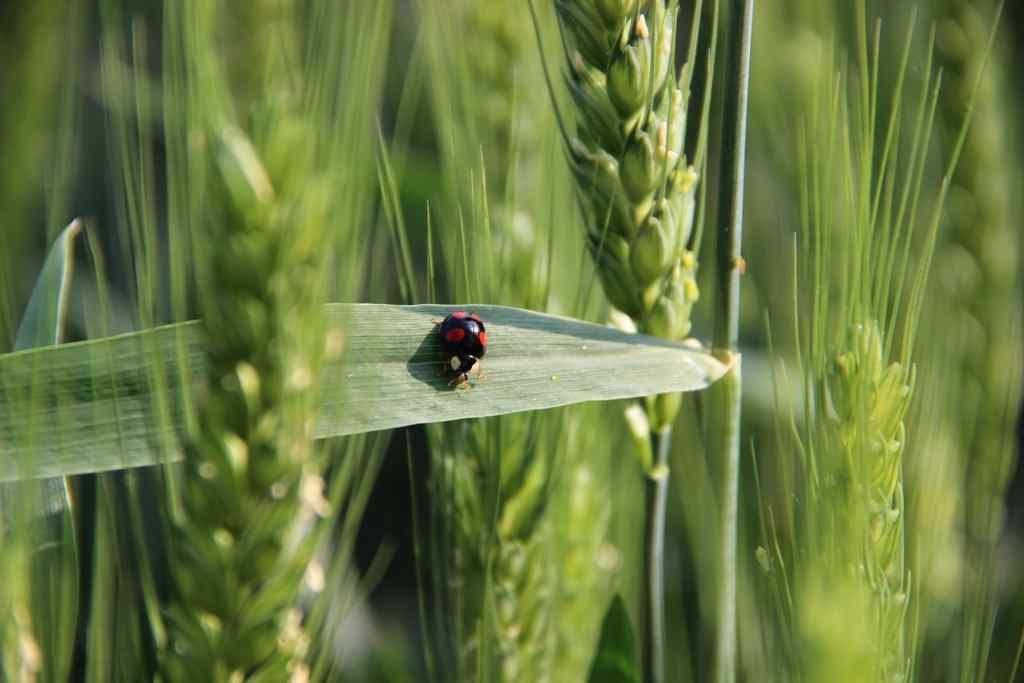 翠绿的麦子与瓢虫绿色护眼壁纸