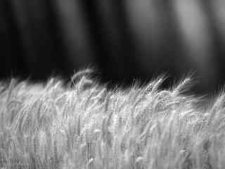 黑白创意摄影麦田