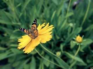 黄色格桑花和蝴蝶