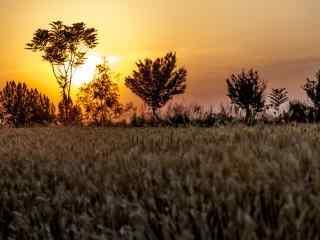 夕阳下的暖色调麦田桌面壁纸