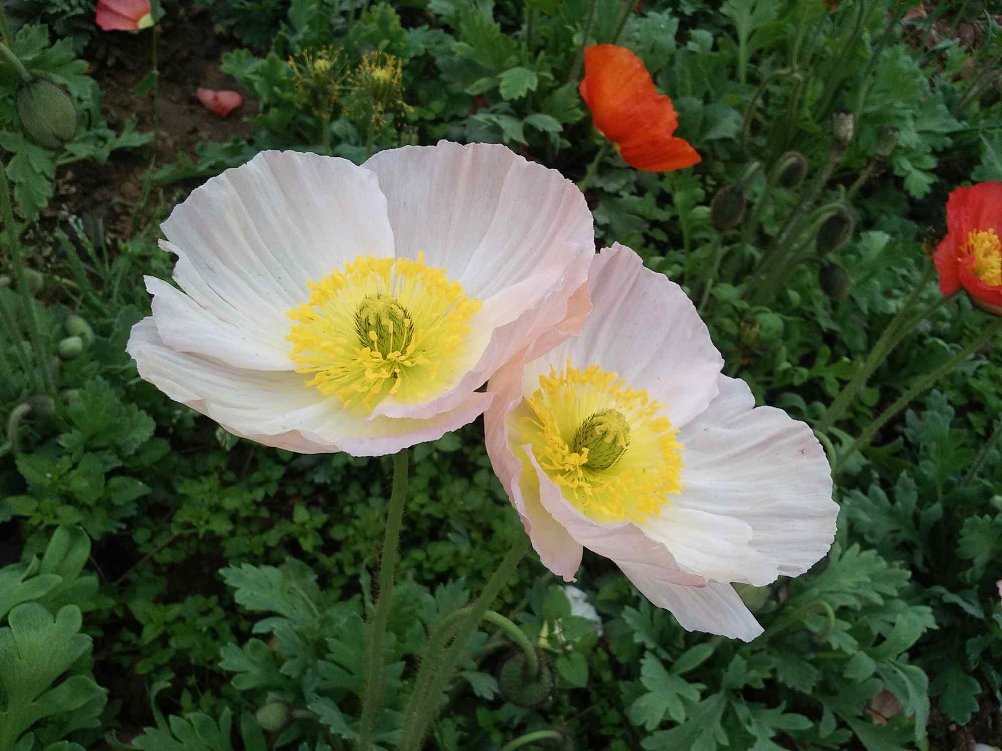 白色清新的虞美人图片植物壁纸下载
