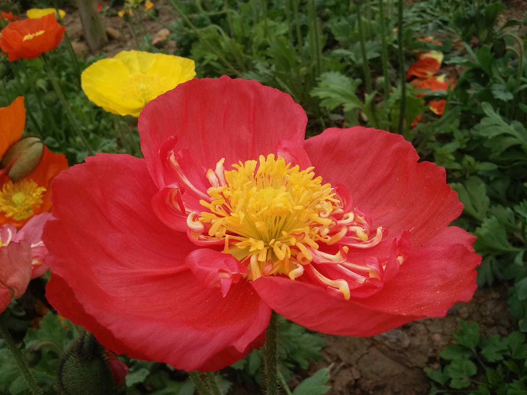 红色大朵盛开的虞美人图片植物壁纸