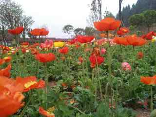 盛开的红色虞美人花卉图片壁纸