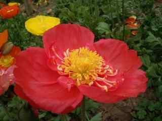 红色大朵盛开的虞
