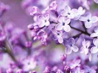 花的图片小清新紫