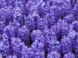 花海图片紫色风信