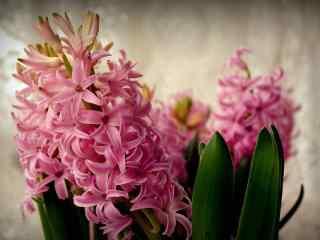 花的图片粉色风信