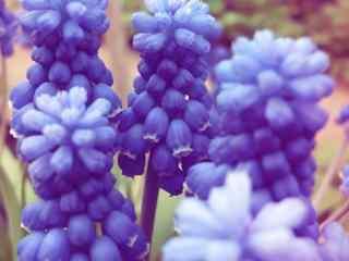 花的图片紫色风信