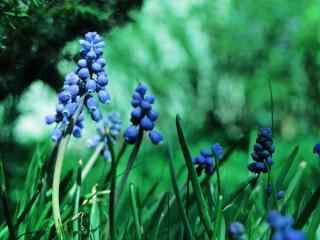 花的图片蓝色风信
