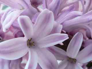 花的图片淡紫色风