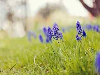 花的图片清新好看的紫色风信子图片壁纸