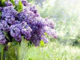 花的图片清新紫色