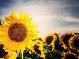 唯美的向日葵高清