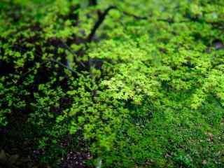 小清新绿色枫叶高