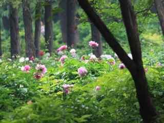 森林里的芍药花群桌面壁纸