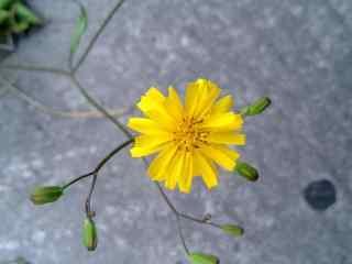 一朵小黄花图片桌面壁纸