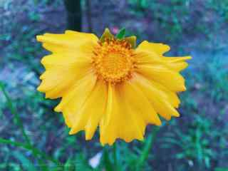 唯美的小黄花植物图片