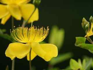 超美的黄花桌面壁纸