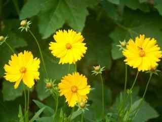 好看的小黄花群桌面壁纸