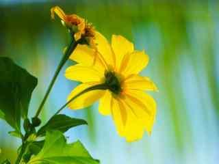唯美的小黄花植物图片桌面壁纸