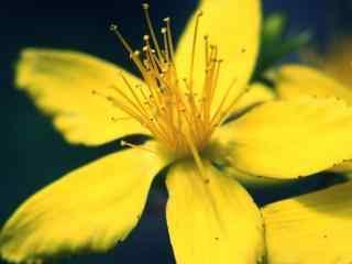 唯美的小黄花摄影图片桌面壁纸
