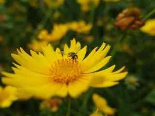 美丽的小黄花与可爱的小蜜蜂桌面壁纸