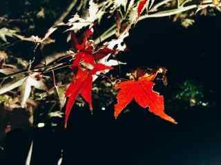 唯美红色枫叶图片